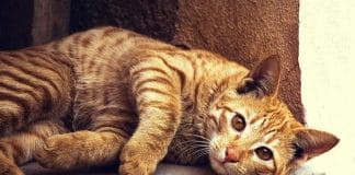 Here Are a Few Fun Facts About the Greatest Breed Among Cats – The Orange Tabby!