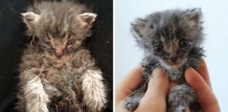This Tiny Kitten Was Barely Alive When Rescued, But Take A Look at Him Now!