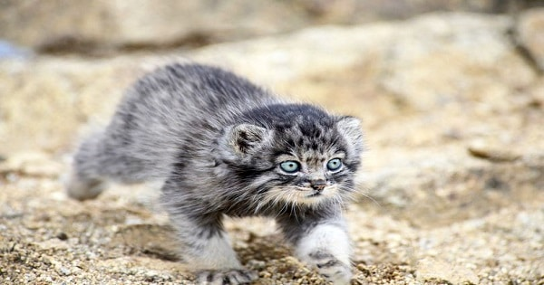 Dasha, World's fluffiest and most aggressive wild kitten