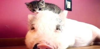 Now We've Seen It All – This Pig (Dragonlord) Acts Like a Cat, Purring Included!