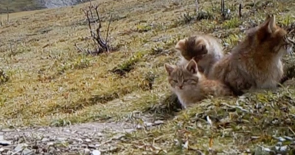 Rare Chinese mountain cats captured on video for first time