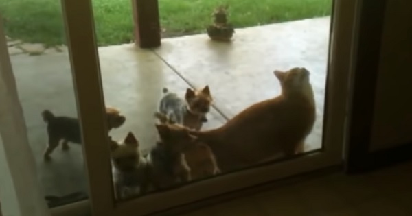 This Smart Cat Helps Her Puppy Friends Get Inside!