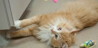 Cat who walked 12 miles back to family who then tried to euthanize him finds new home