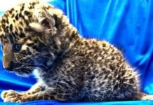 Airport Security Officials Find a Leopard Cub Inside a Passenger's Luggage
