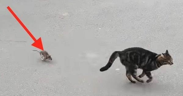 This Cat Messed with the Wrong Rat!