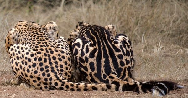 Why Big Cats Get Their Spots and Stripes - Kipling Was Half Right