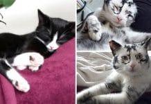 Kitten Suffering From Vitiligo transforms from black to stunning dappled fur