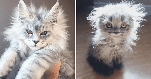 These Cute Maine Coon Kittens Are Actually Giants Waiting To Grow Up