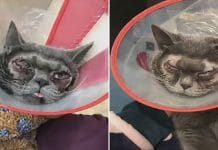 Woman spends Thousands on plastic surgery for her cat as she thinks it's 'ugly'