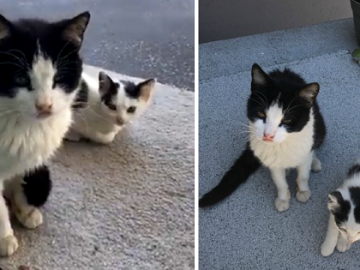 Stray Cats Needs Help with Her Kitten and Turns to the Humans Who Fed Her