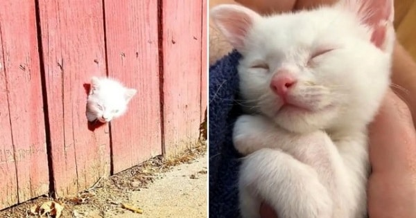 This Runt of the Litter Kitten Gets its Head Stuck in a Wooden Fence and Calls for Help