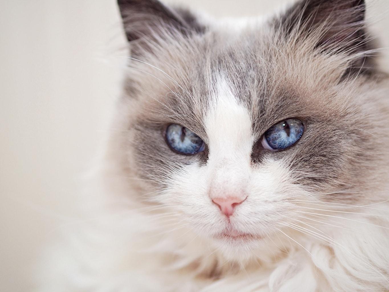 Are Ragdoll Cats Hypoallergenic?
