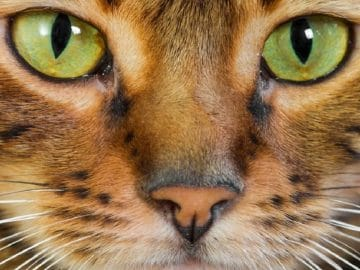 Five Most Expensive Cat Breeds in 2020