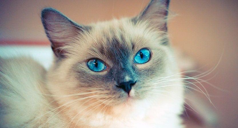 How Big do Ragdoll Cats Get?