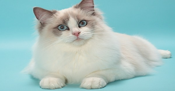 Interesting Stuff About Ragdoll Cats You Didn't Know About