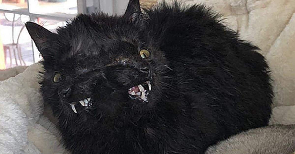 Rescue Kitten Was Born With Two Face Who Rejected By Her Cat Mom