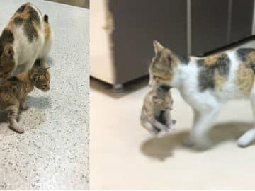 Momma Cat Rushes Her Kitten to the Hospital on Her Own