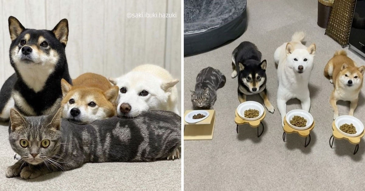 A Cat That Lives with Dogs Doesn't Realize the Fact that He's a Cat