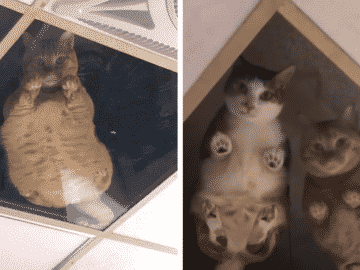 Shop Owner Installs a Glass Ceiling as Entertainment for His Cats