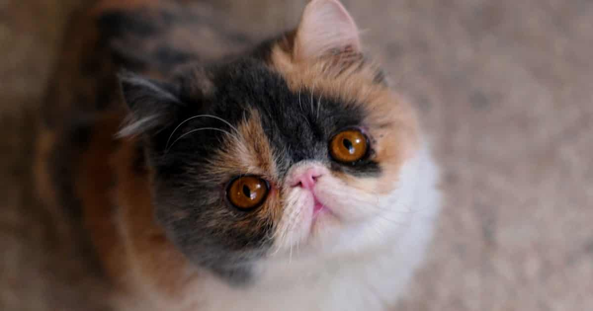 Everything You Need to Know About Flat Faced Cats