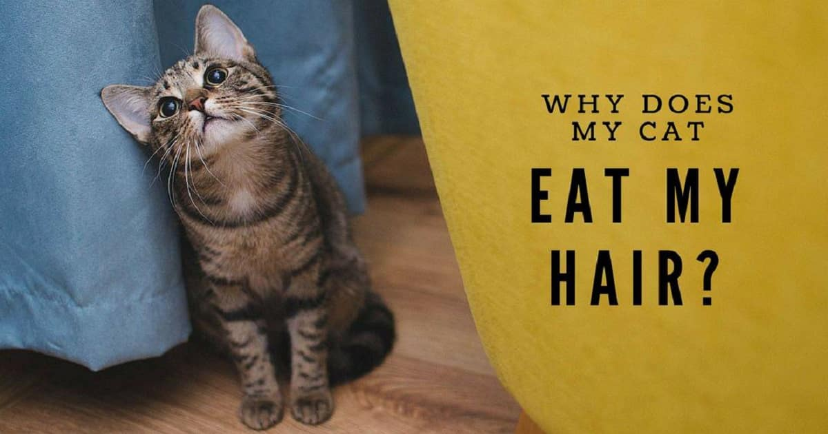 The Reasons Why Your Cat Chews Your Hair