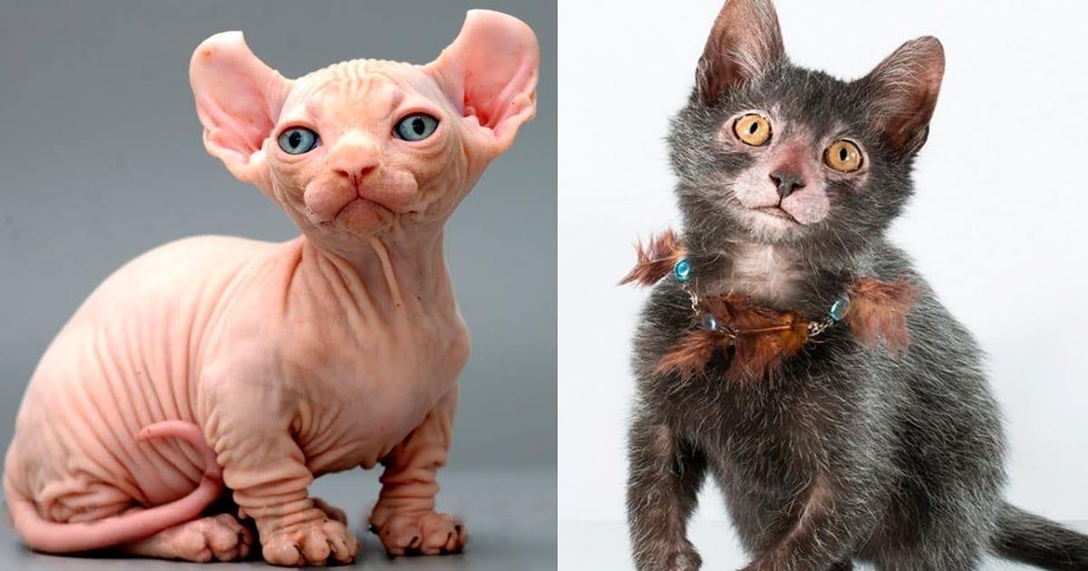 Strangest Cat Breeds